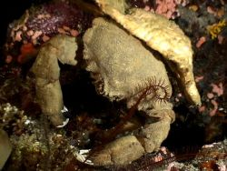 Little brute of a crab, night dive at Mary Island, on Bil... by Marylin Batt